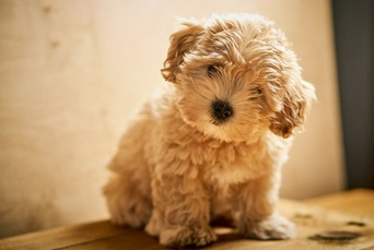 What You Need To Know Before Buying Maltipoo Puppies For Sale